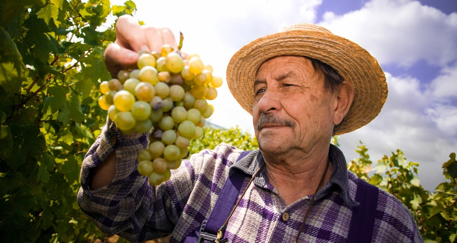 Supplier Employee harvesting grapes